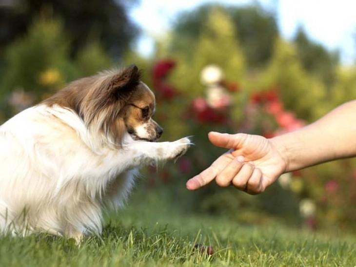 perro raza chihuahua dandole la patita a su ama