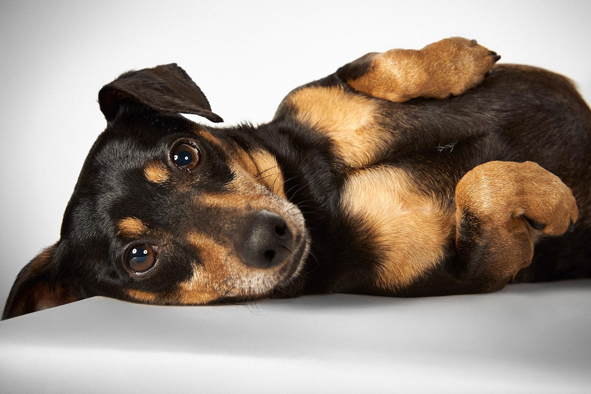 El dueño dijo que él y su familia se estaban mudando y no podían con Timothy y su hermano Kirby, así que él entregó a estos mestizos de dachshund/Chihuahua de 5 años a la Humane Society de Nueva York. Timothy debió de sentirse abrumadoy tuvo una convulsión aproximadamente una hora después.