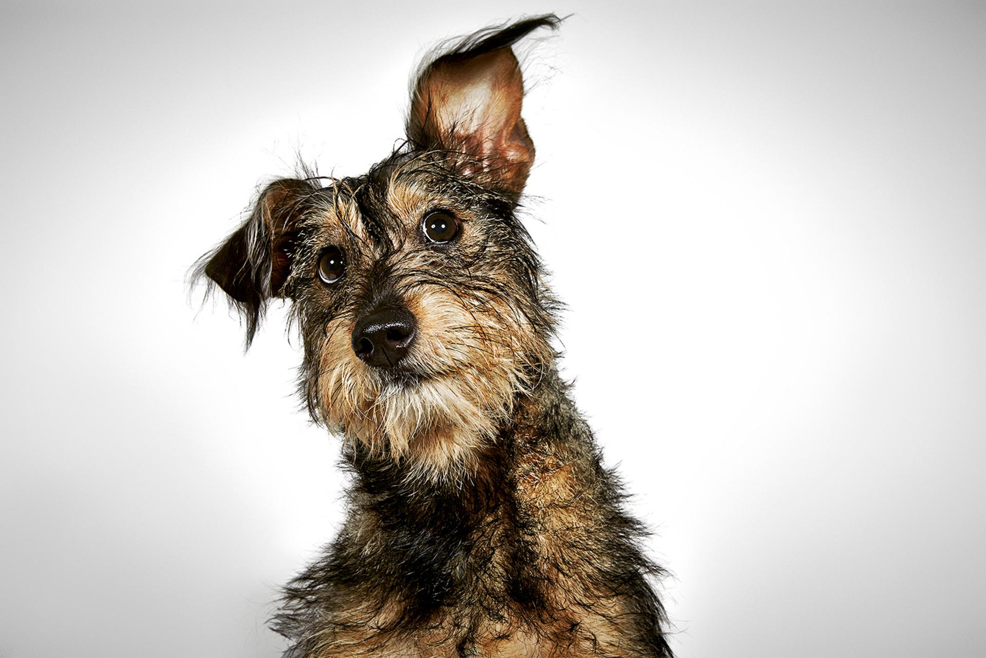 Davey fue encontrado corriendo en el Bronx sin collar y sin correa, es una bola de energía en la manada de perros, es un acróbata, se zambulle y se zambulle, corre entre las piernas de los perros y salta sobre ellos