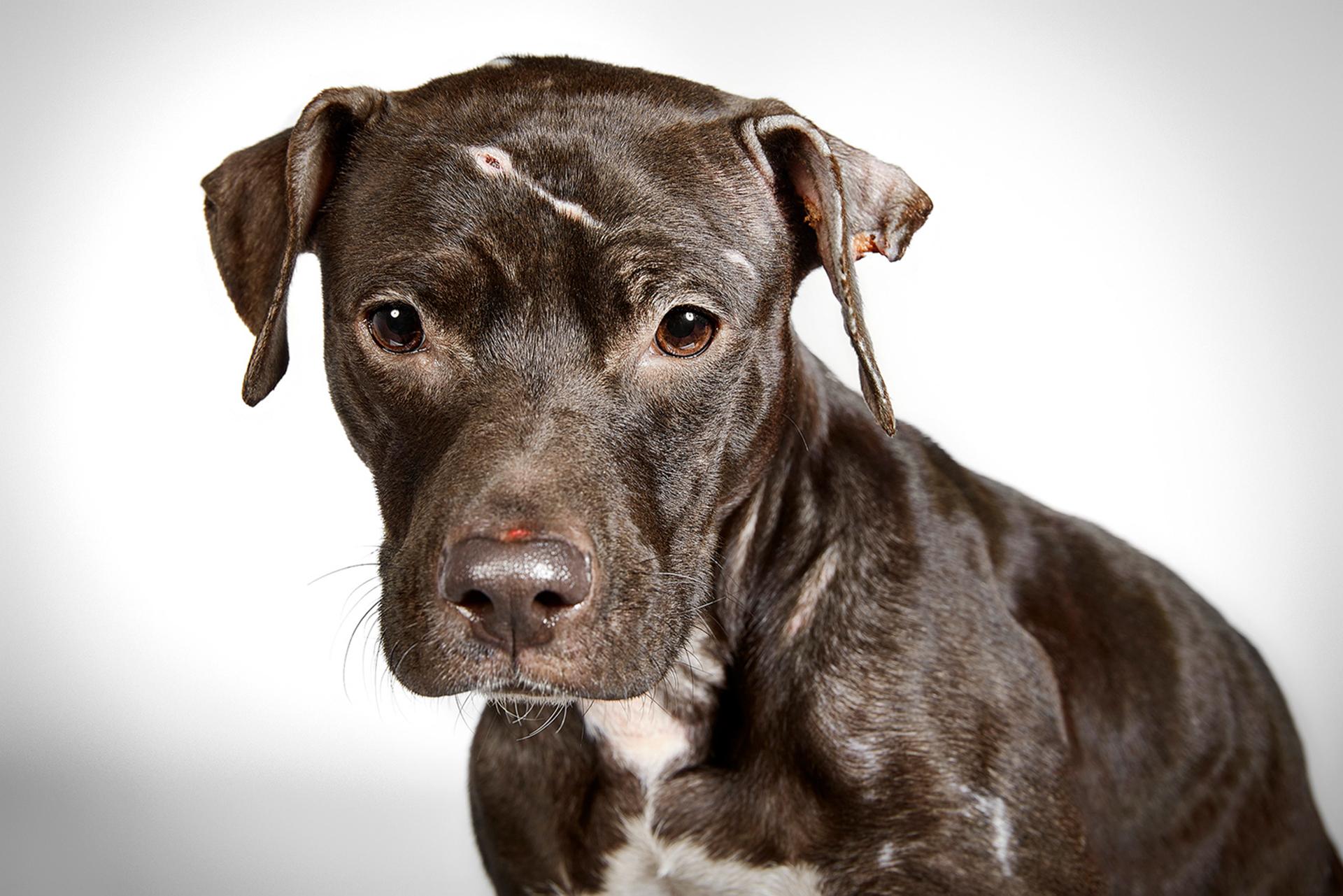"""Cuando un homeless encontró a esta perra abandonada, la cuidó durante cinco días, luego se dio cuenta de que necesitaba atención médica y un hogar estable. Chelsea llegó a HSNY con lastimaduras inexplicables en la cabeza y el cuerpo. No había ninguna pista sobre su vida pasada, pero puede haber sido usada como un """"perro de cebo"""", en peleas caninas ilegales. Después de un extenso tratamiento, Chelsea recuperó su personalidad extrovertida y juguetona. Jennifer y Adam y la llevaron a su casa en Jersey City"""